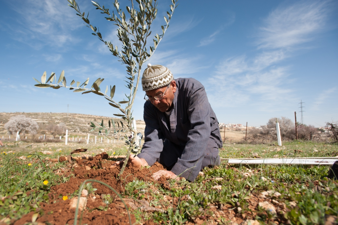 palestinian and olive branch gardening
